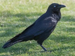 - Australian Raven