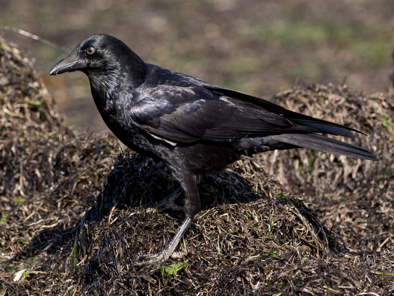 Little Raven - John  Van Doorn
