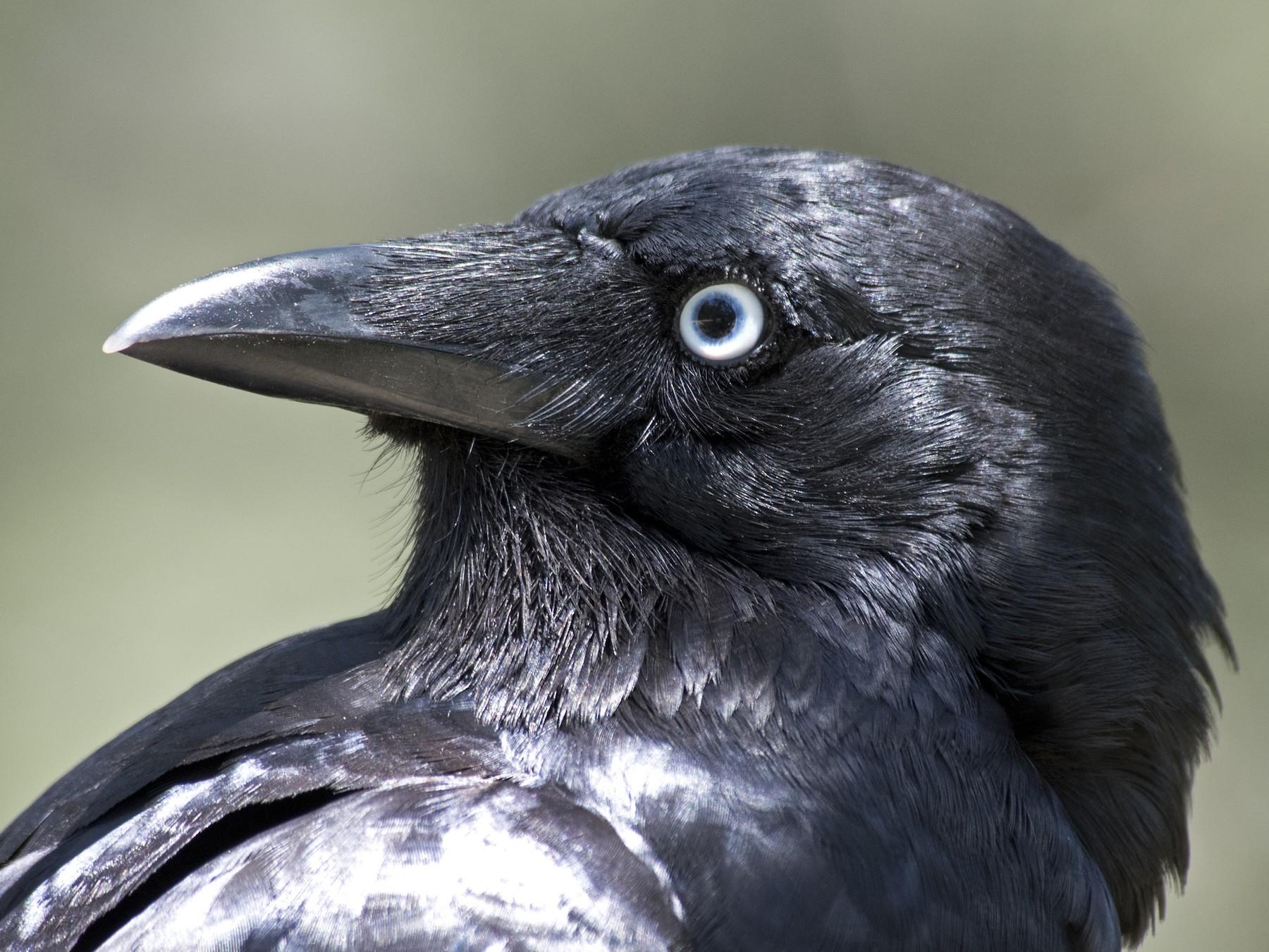 Little Raven - Dan Forster