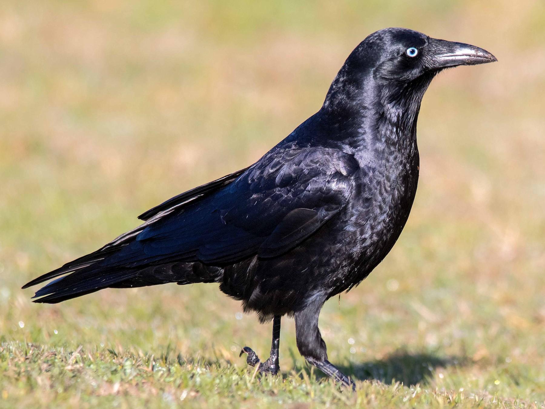 Little Raven - Andrew Allen