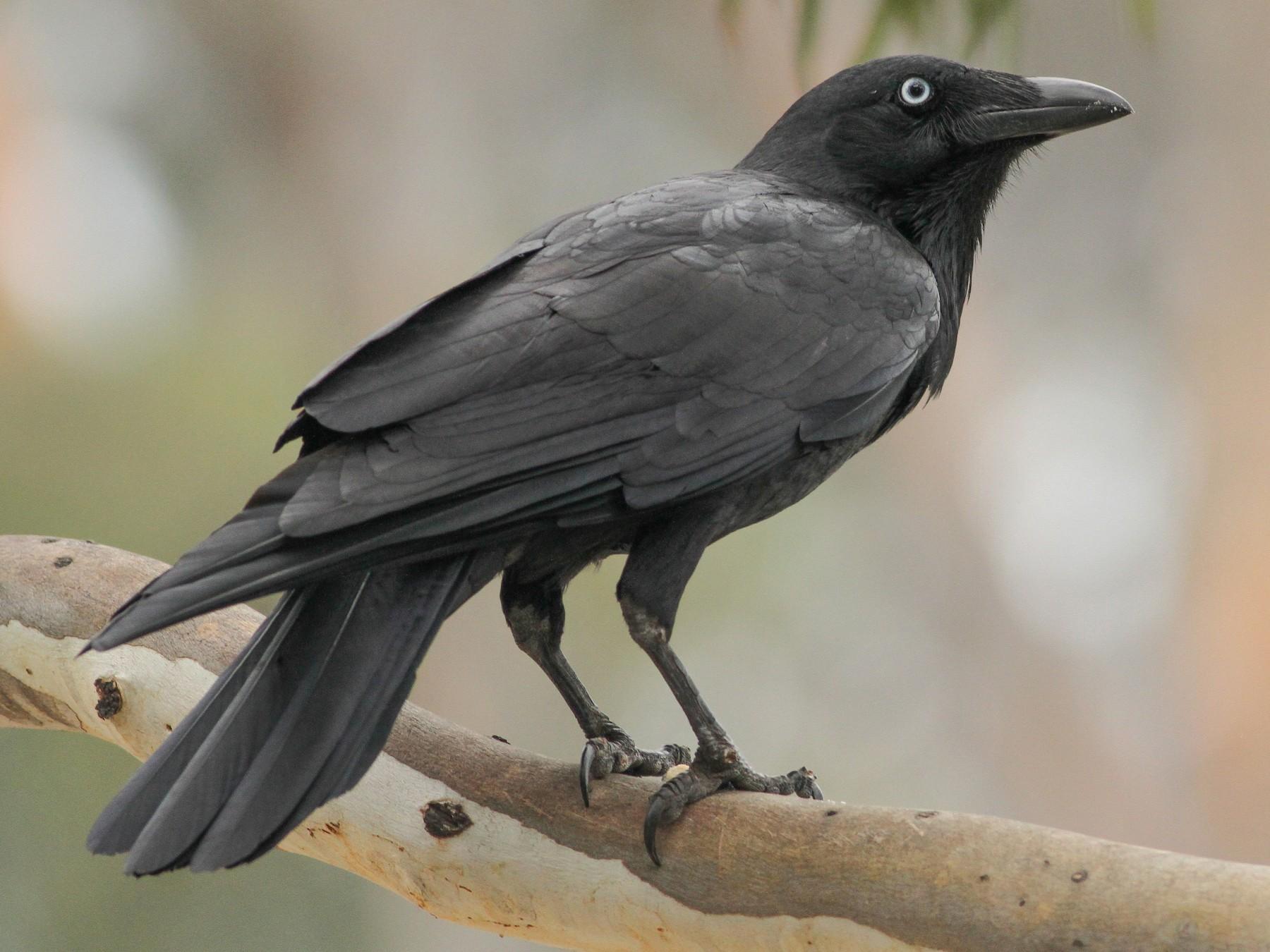 Little Raven - Evan Lipton