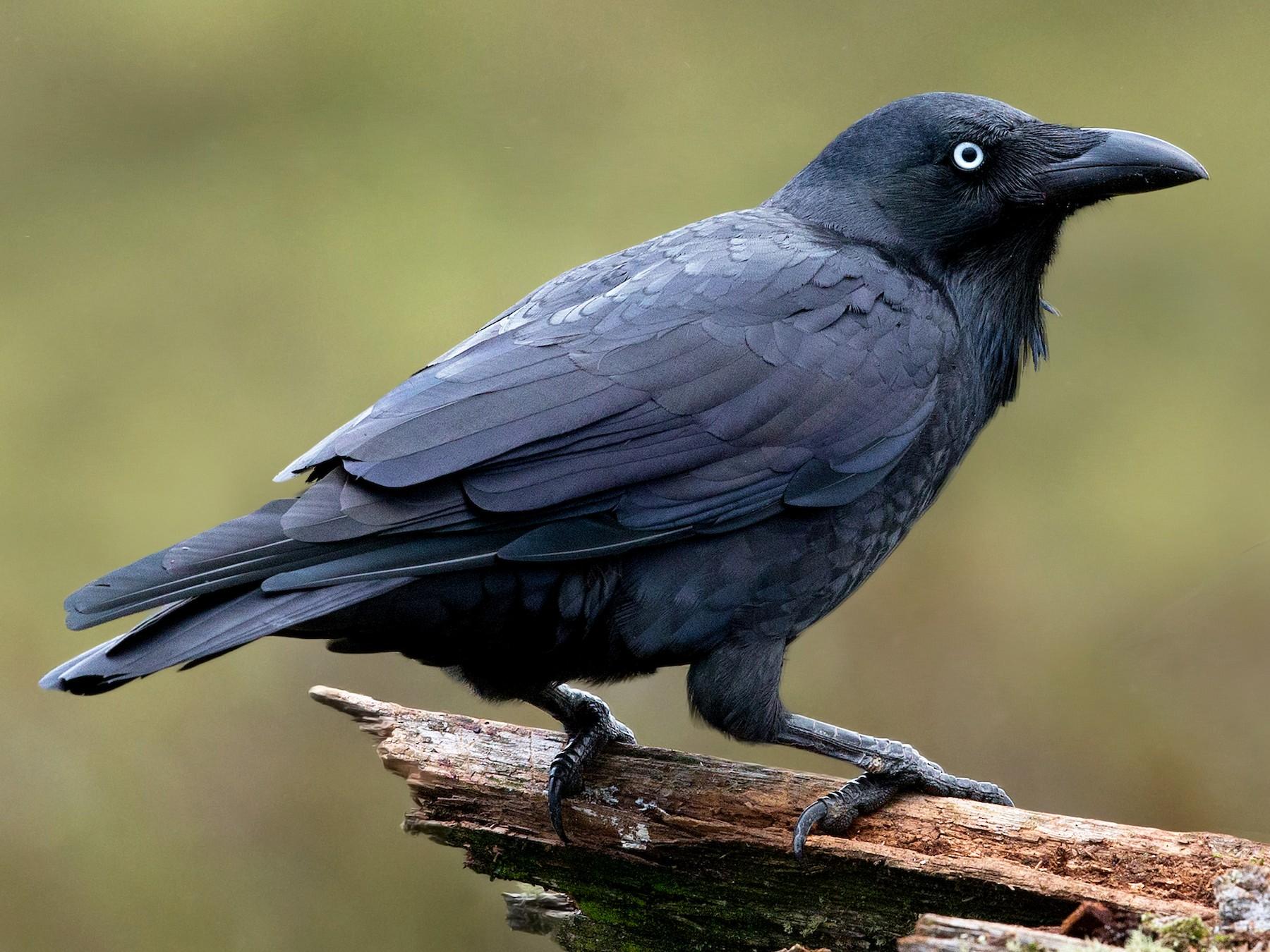 Forest Raven - David Irving