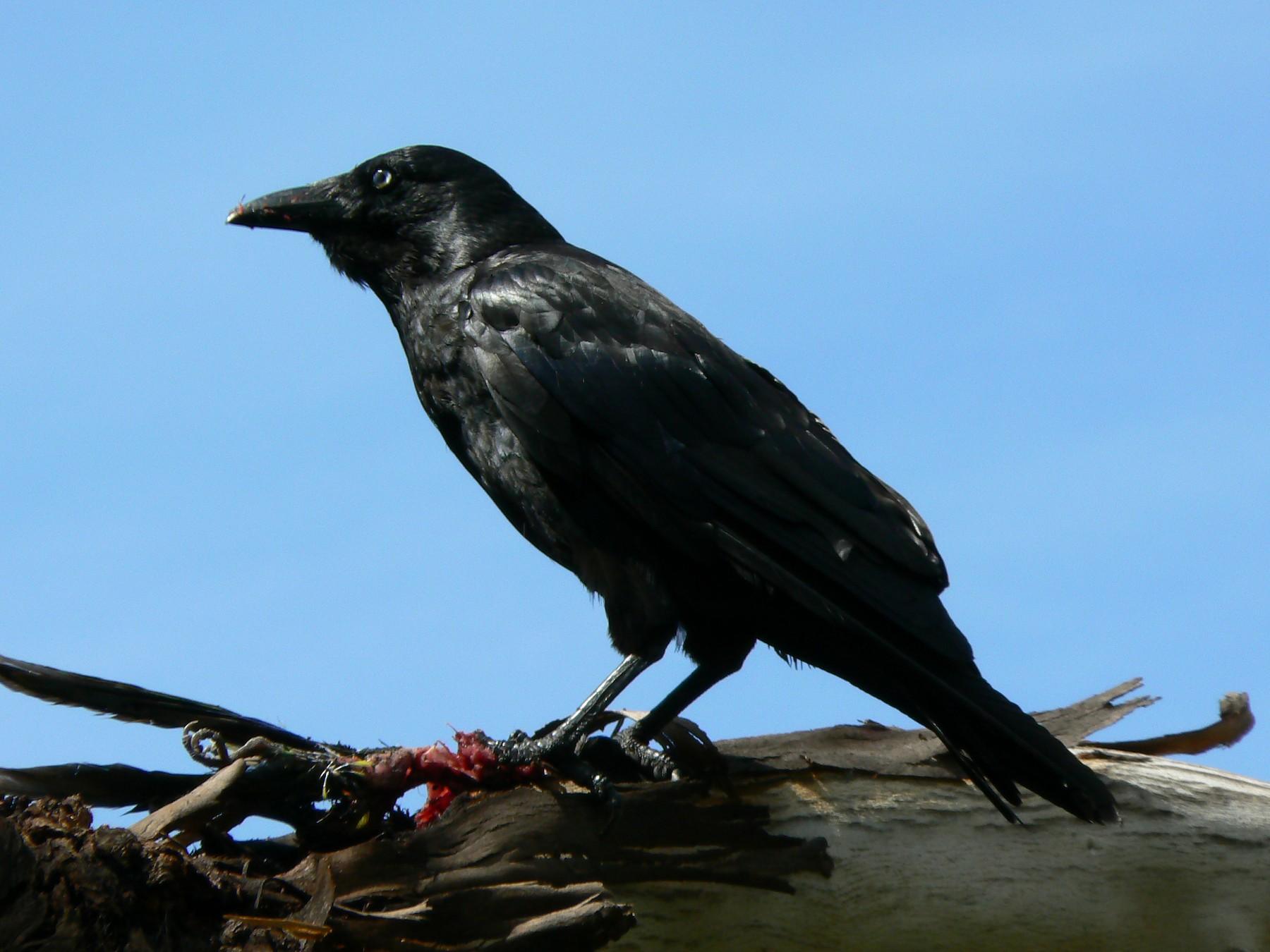 Forest Raven - Adam Jackson