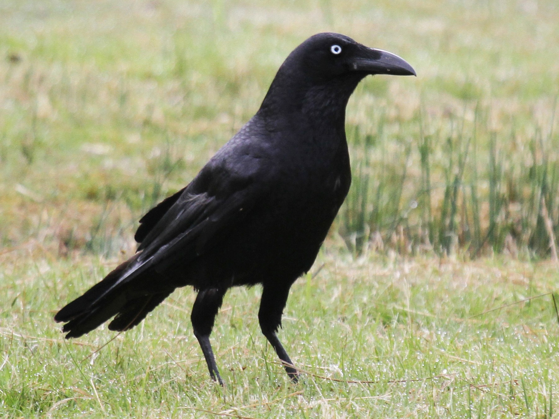 Forest Raven - Margot Oorebeek