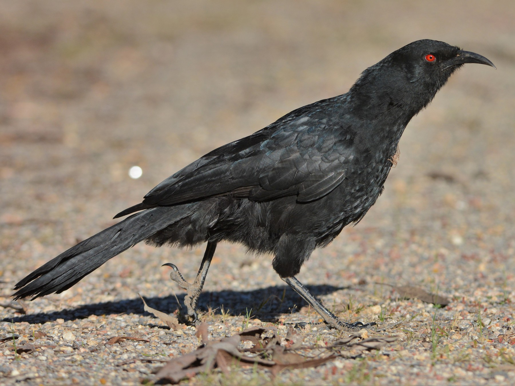 White-winged Chough - David Hollie