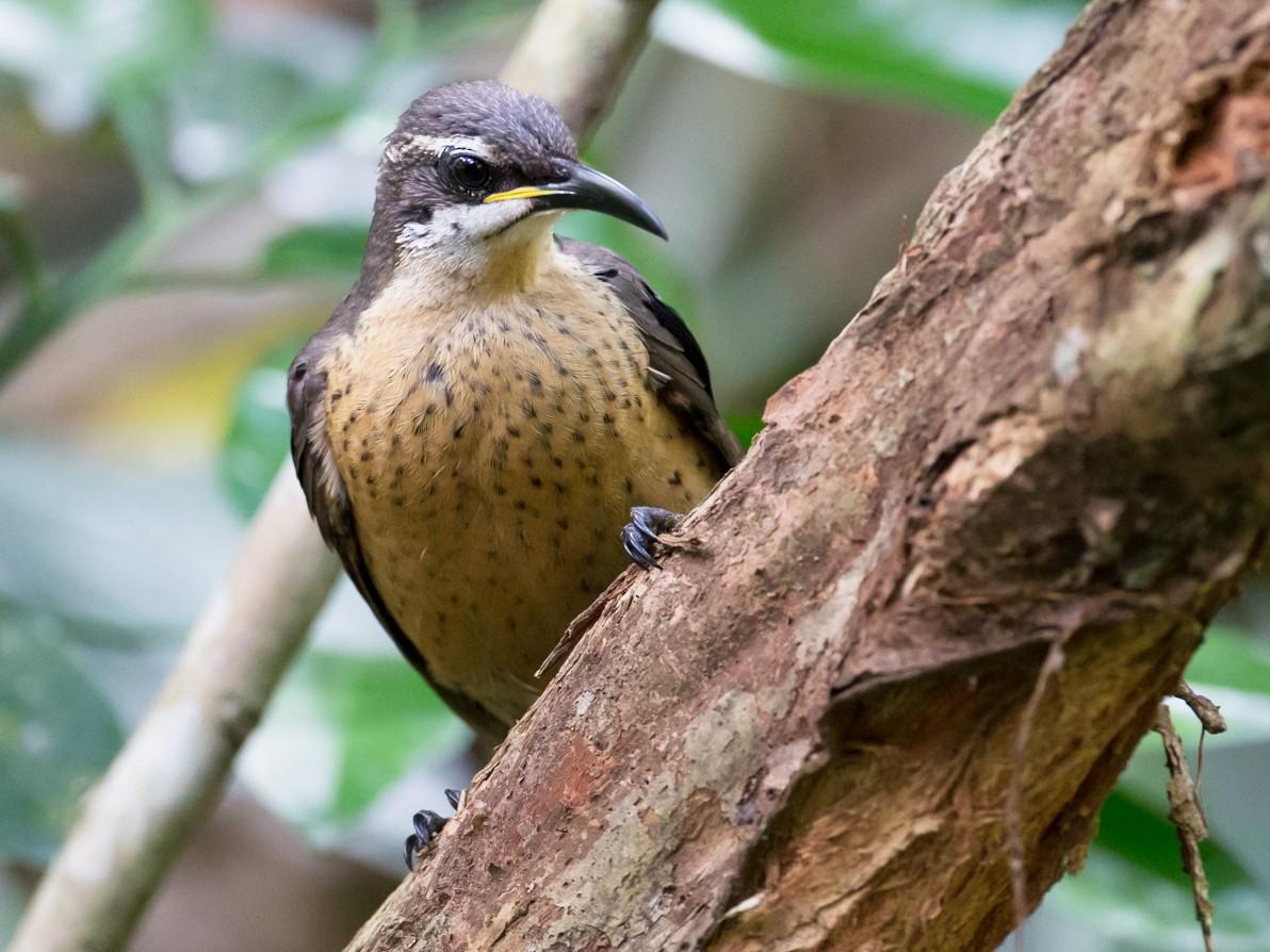 Victoria's Riflebird - Brendan Klick