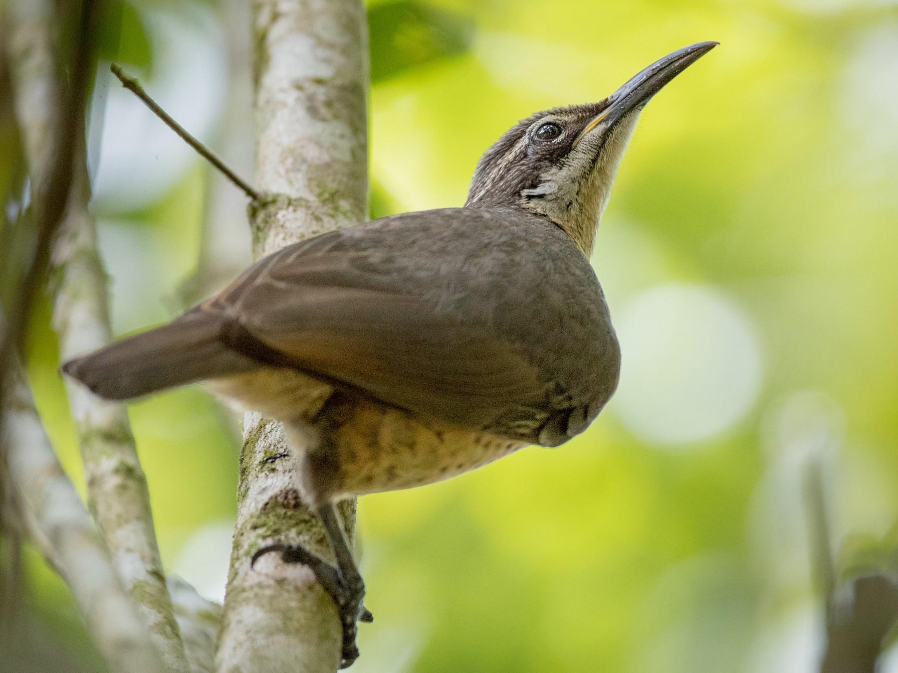 Victoria's Riflebird - Ian Davies
