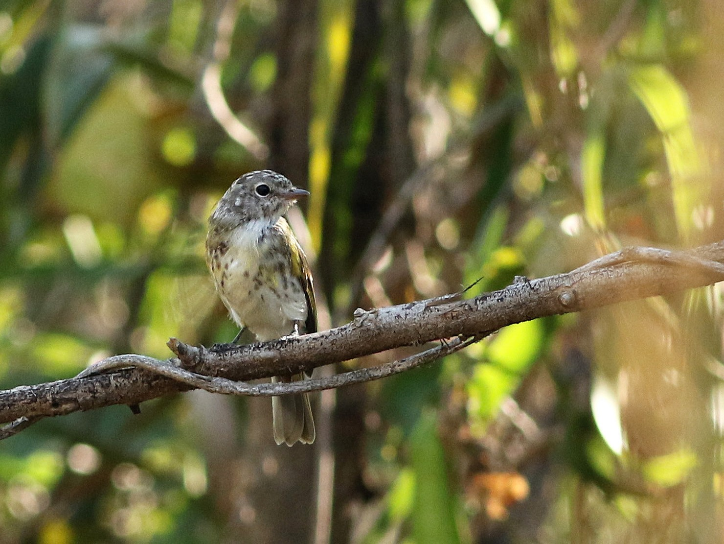 Lemon-bellied Flycatcher - Meng-Chieh (孟婕) FENG (馮)