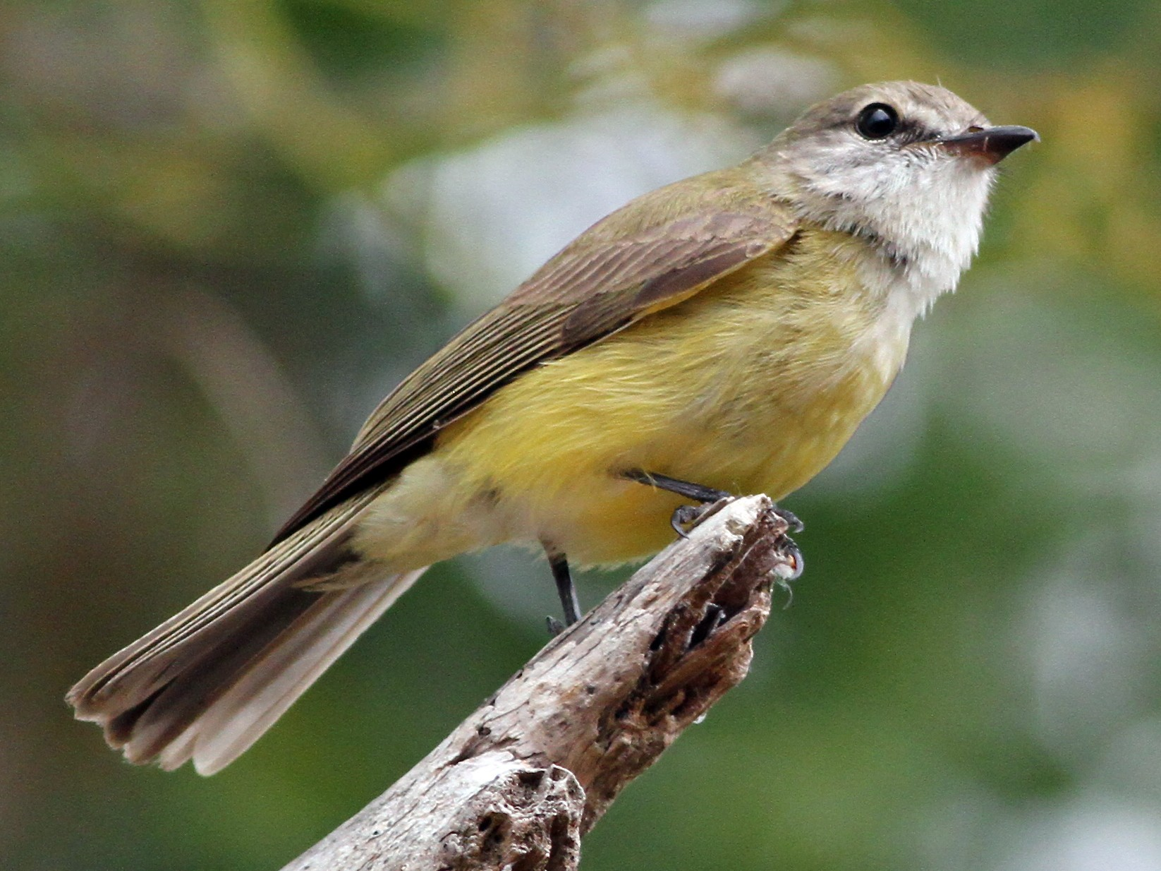 Lemon-bellied Flycatcher - Chris Wiley