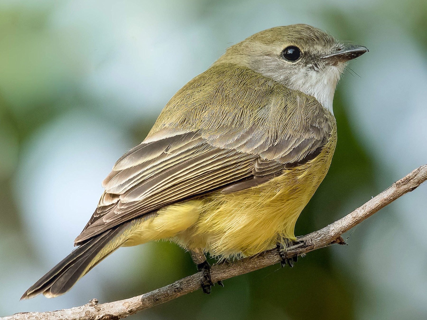 Lemon-bellied Flycatcher - Terence Alexander