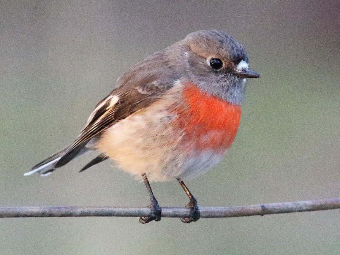 Scarlet Robin - Leigh Pieterse