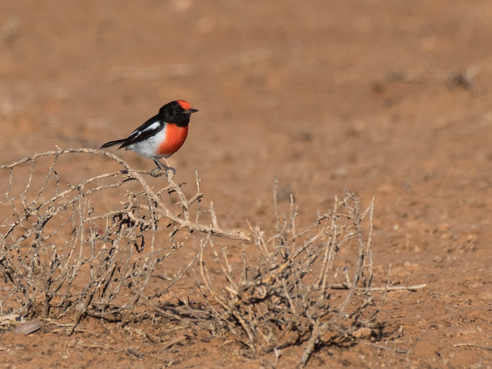Red-capped Robin - Terence Alexander