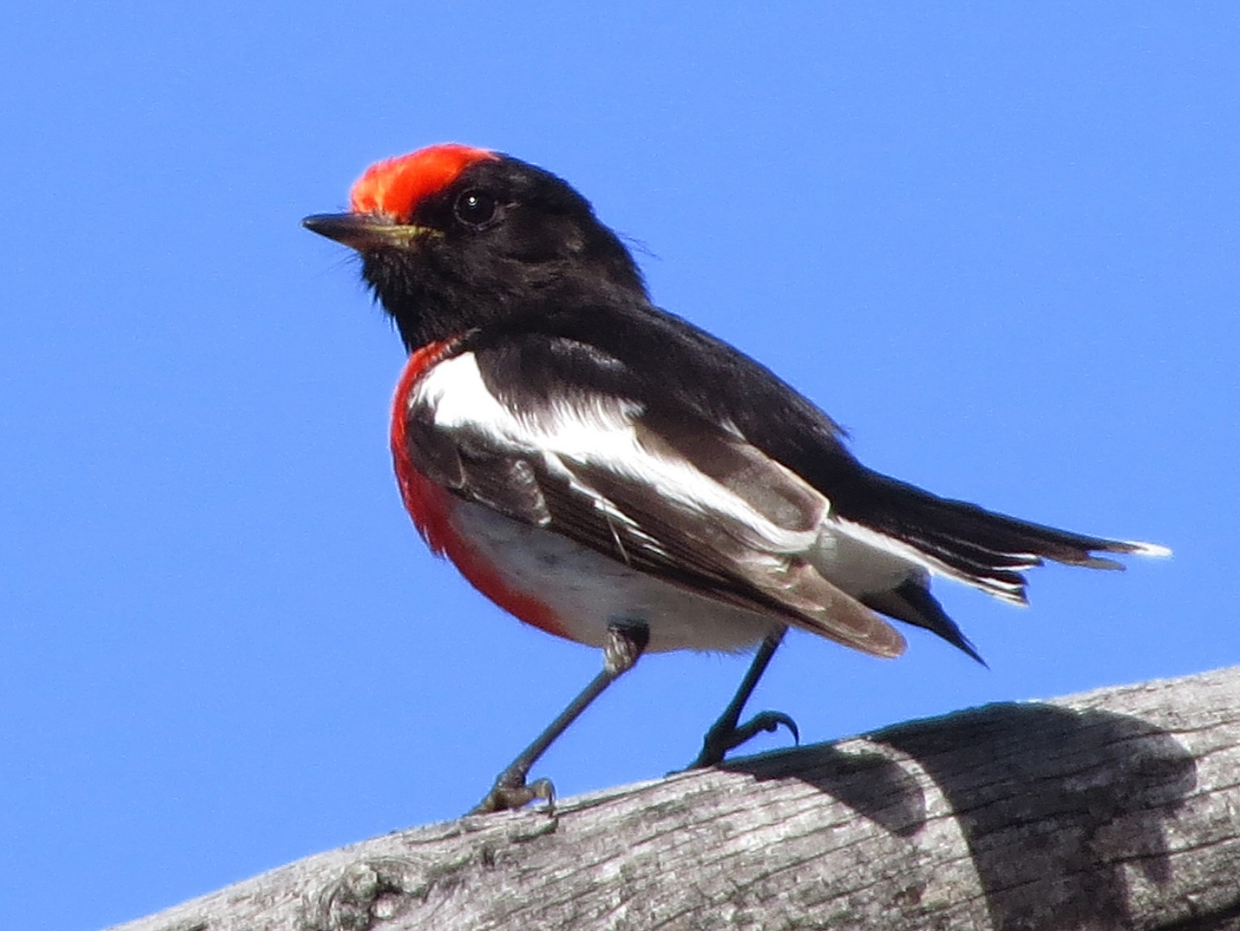 Red-capped Robin - David and Regan Goodyear
