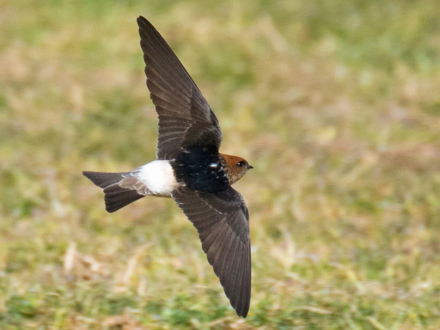 Fairy Martin - Chris Rehberg  | Sydney Birding