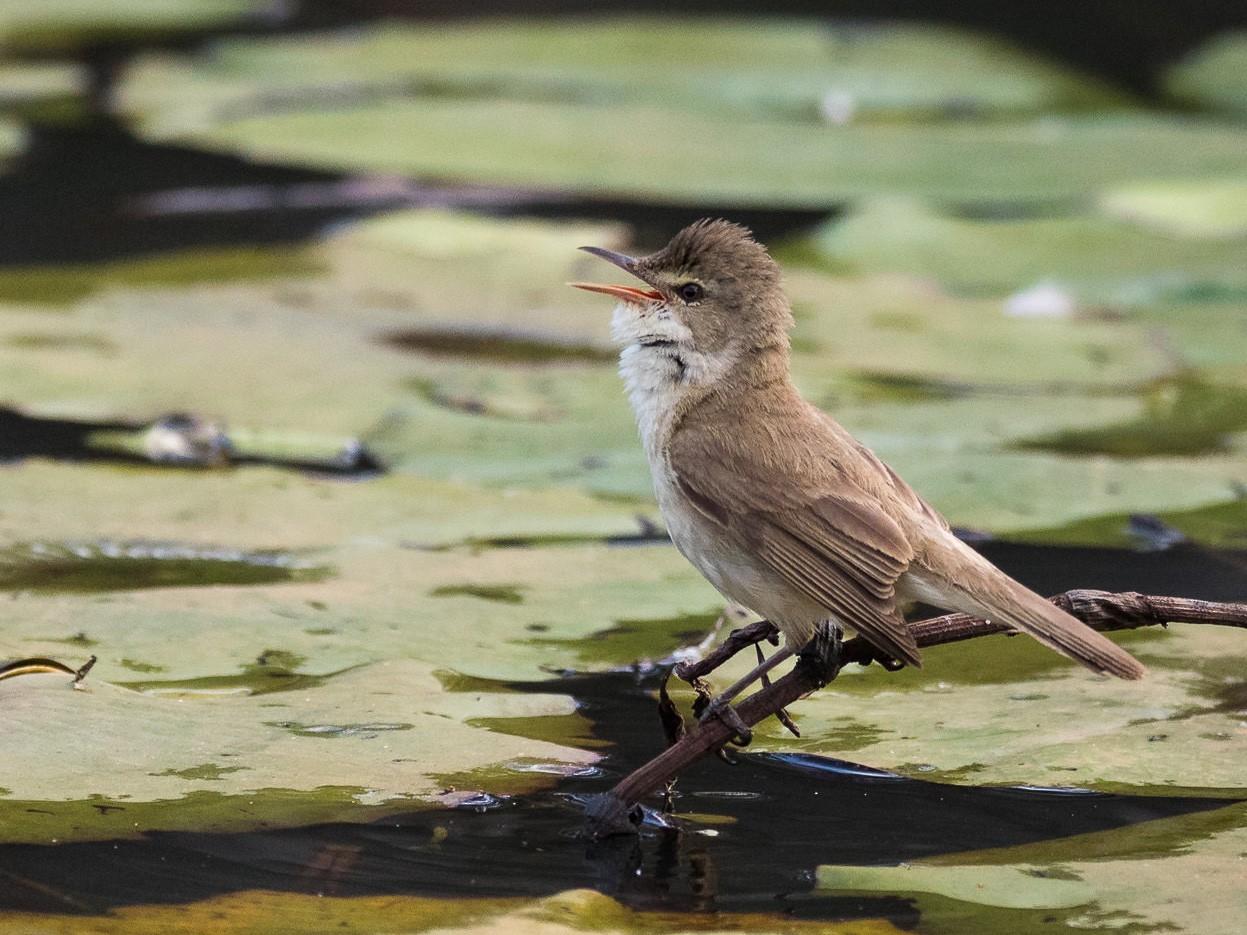 Australian Reed Warbler - Malcolm Graham