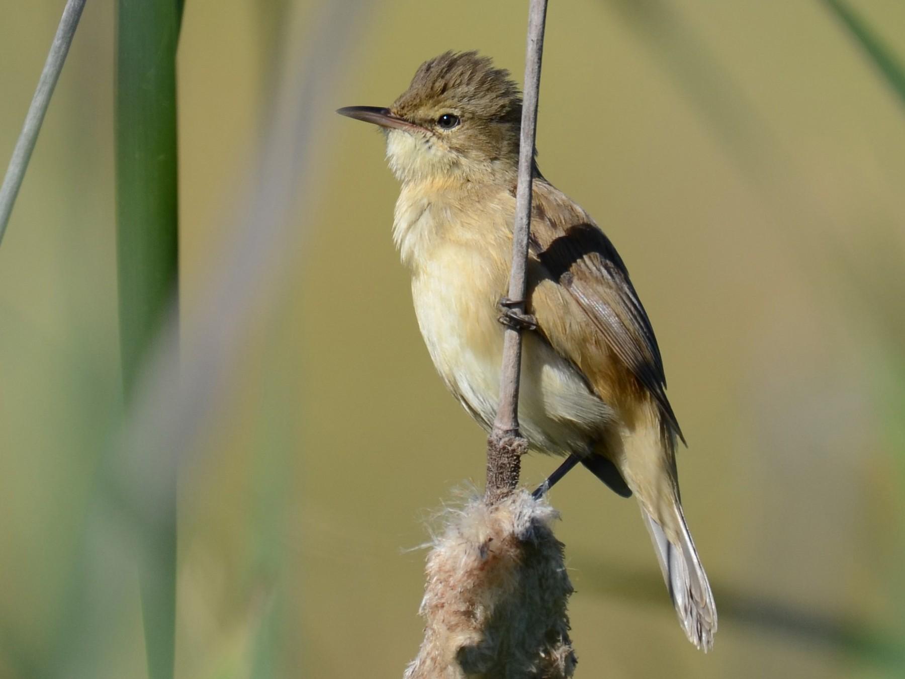 Australian Reed Warbler - Stephen Haase