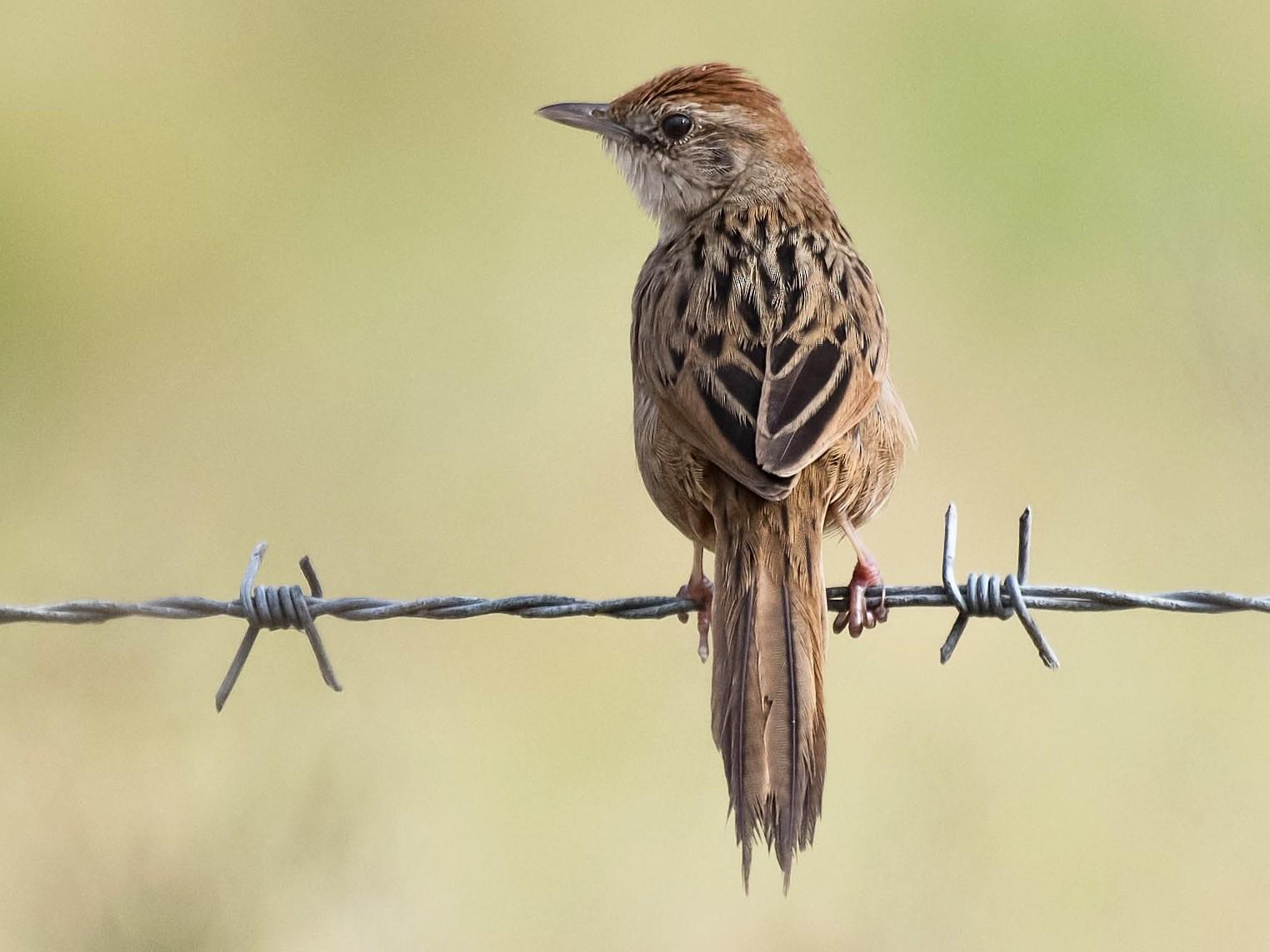 Tawny Grassbird - Terence Alexander
