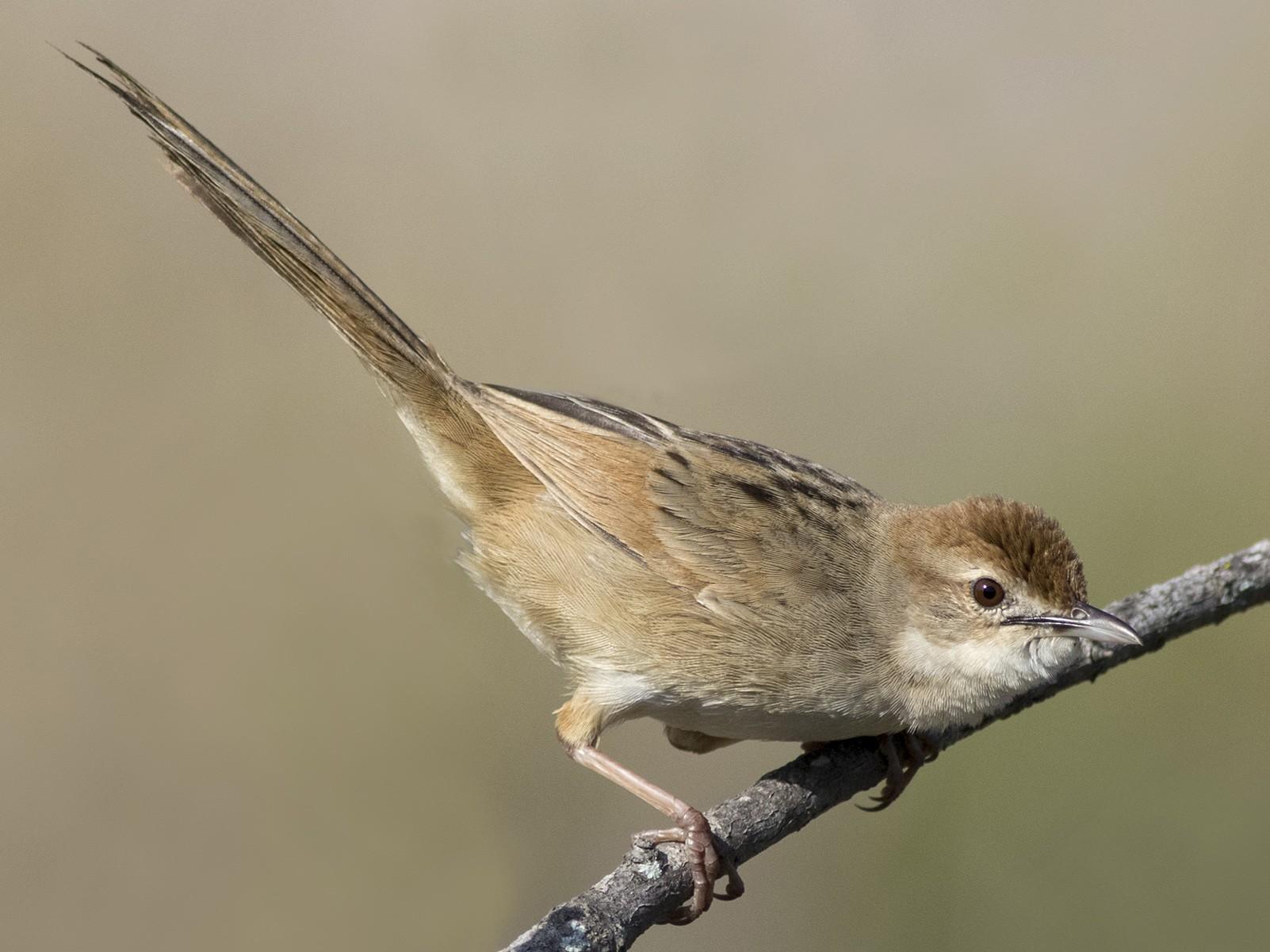 Tawny Grassbird - Stephen Murray
