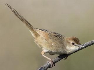 - Tawny Grassbird