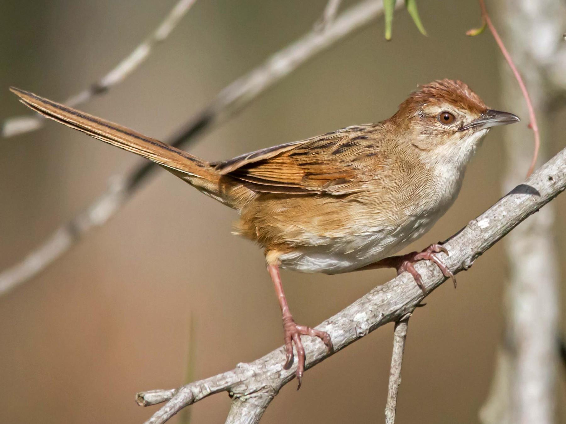 Tawny Grassbird - Andrew Allen