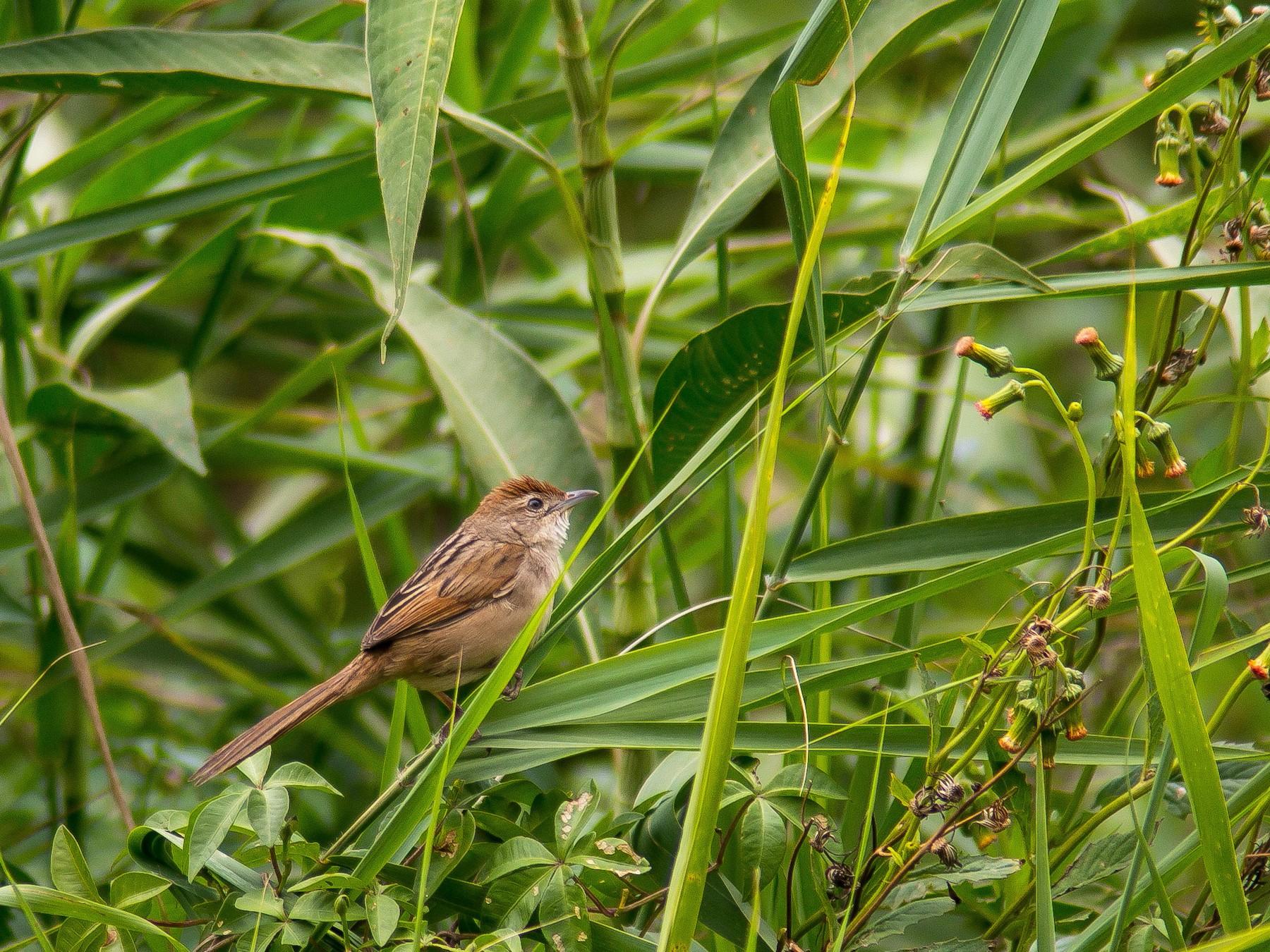 Tawny Grassbird - D England