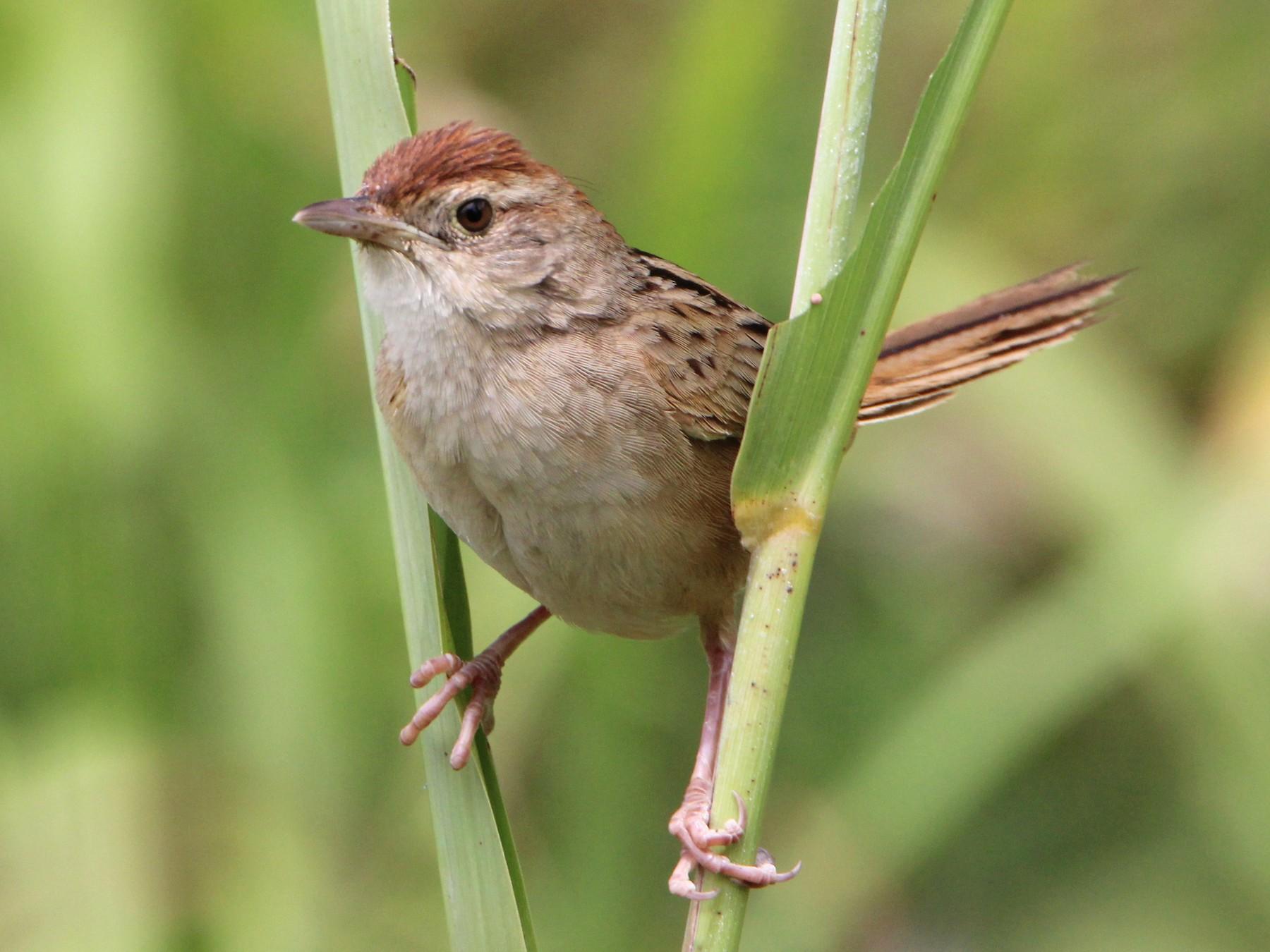 Tawny Grassbird - Sandra Gallienne