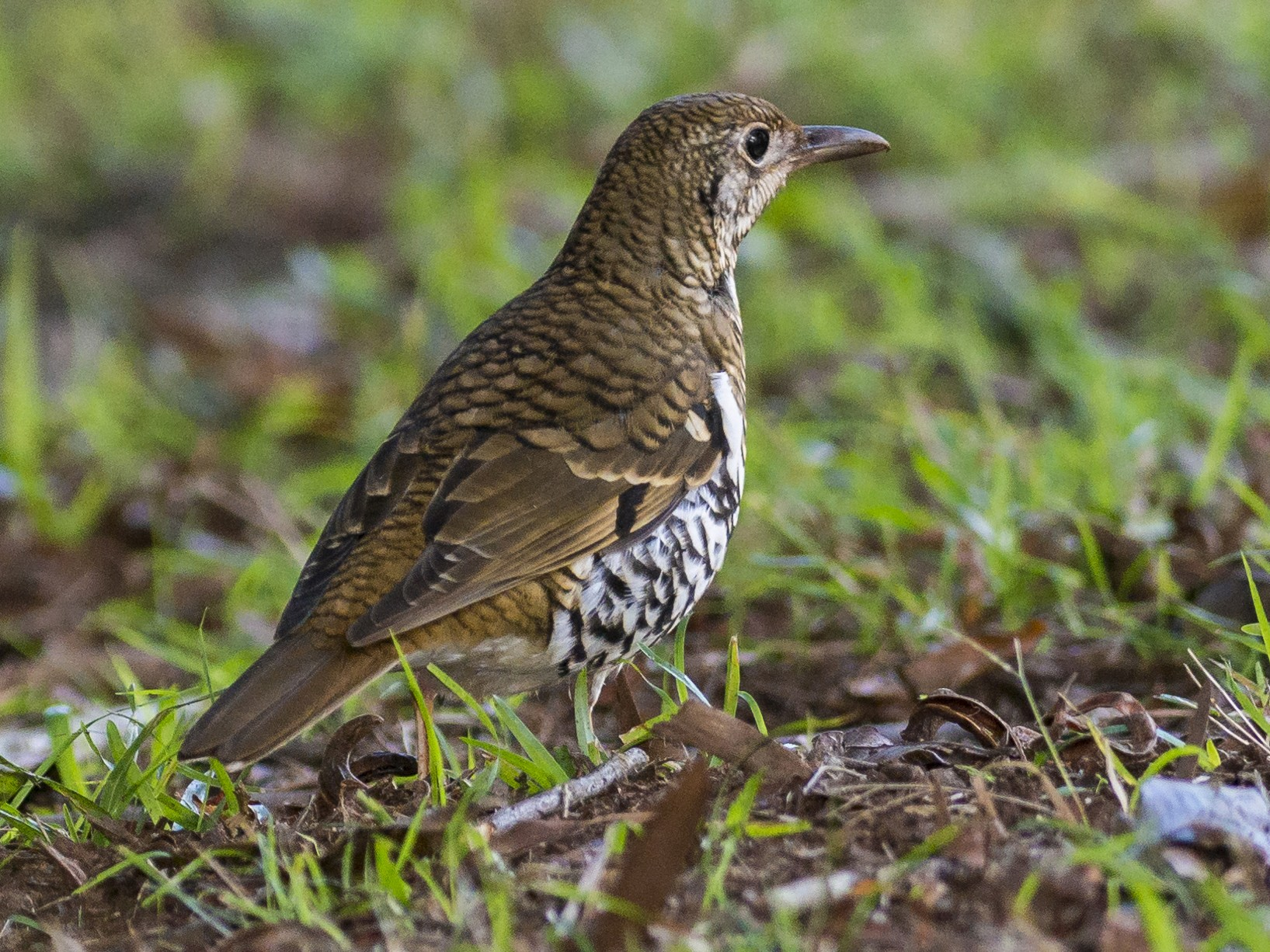 Russet-tailed Thrush - Peter Taylor