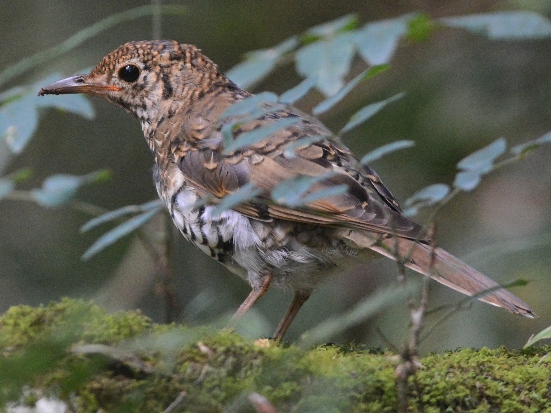 Russet-tailed Thrush - David Hollie