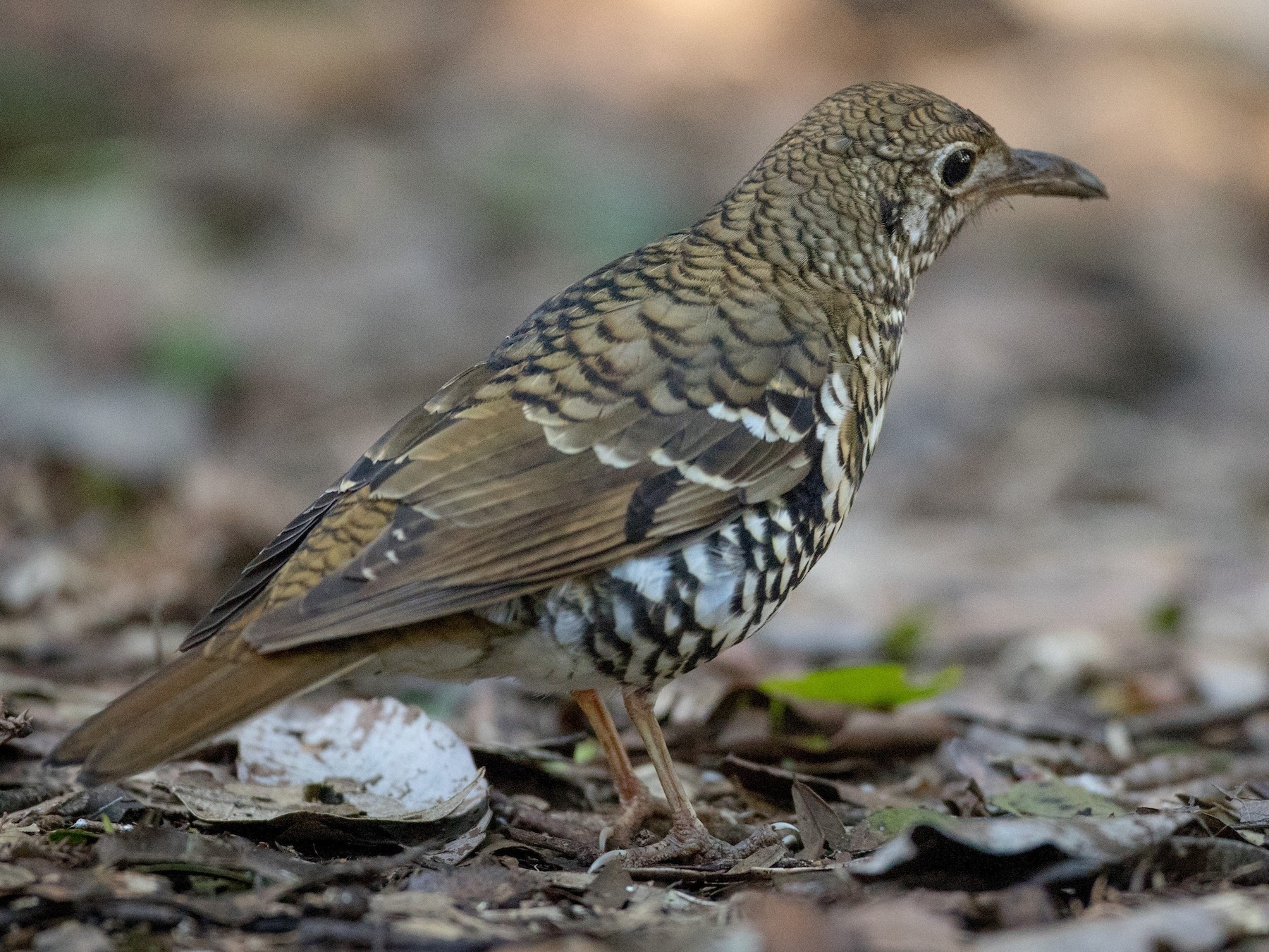 Russet-tailed Thrush - Ian Davies