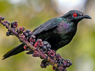 - Metallic Starling