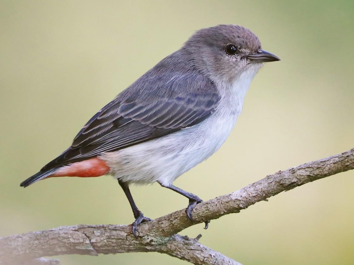 Mistletoebird - Rick Franks