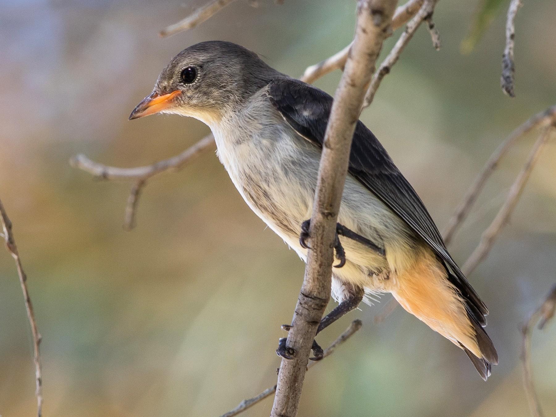 Mistletoebird - Stefan  Hirsch