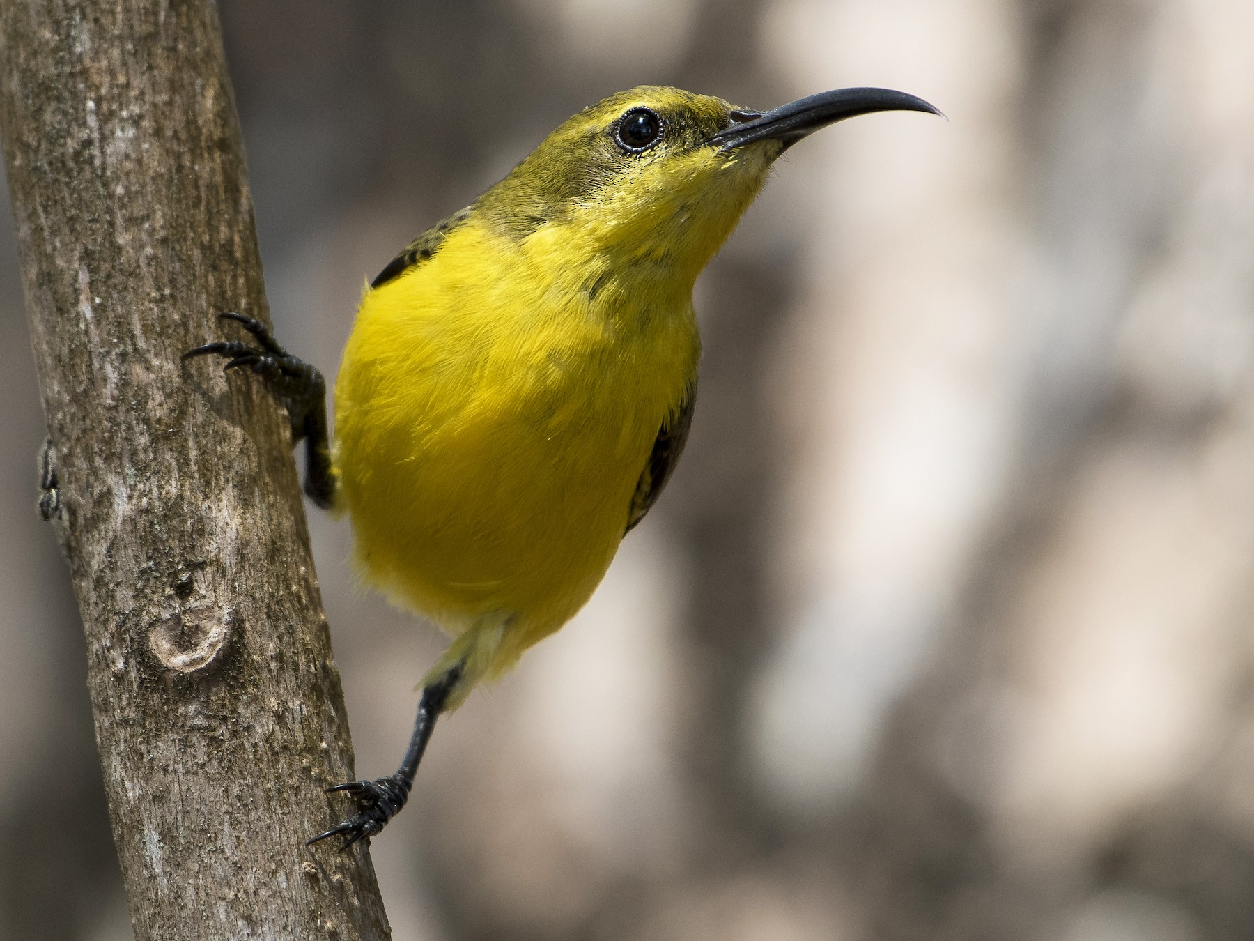 Olive-backed Sunbird - Lucas Brook