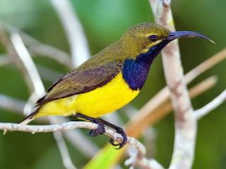- Olive-backed Sunbird