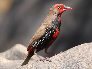 - Painted Firetail