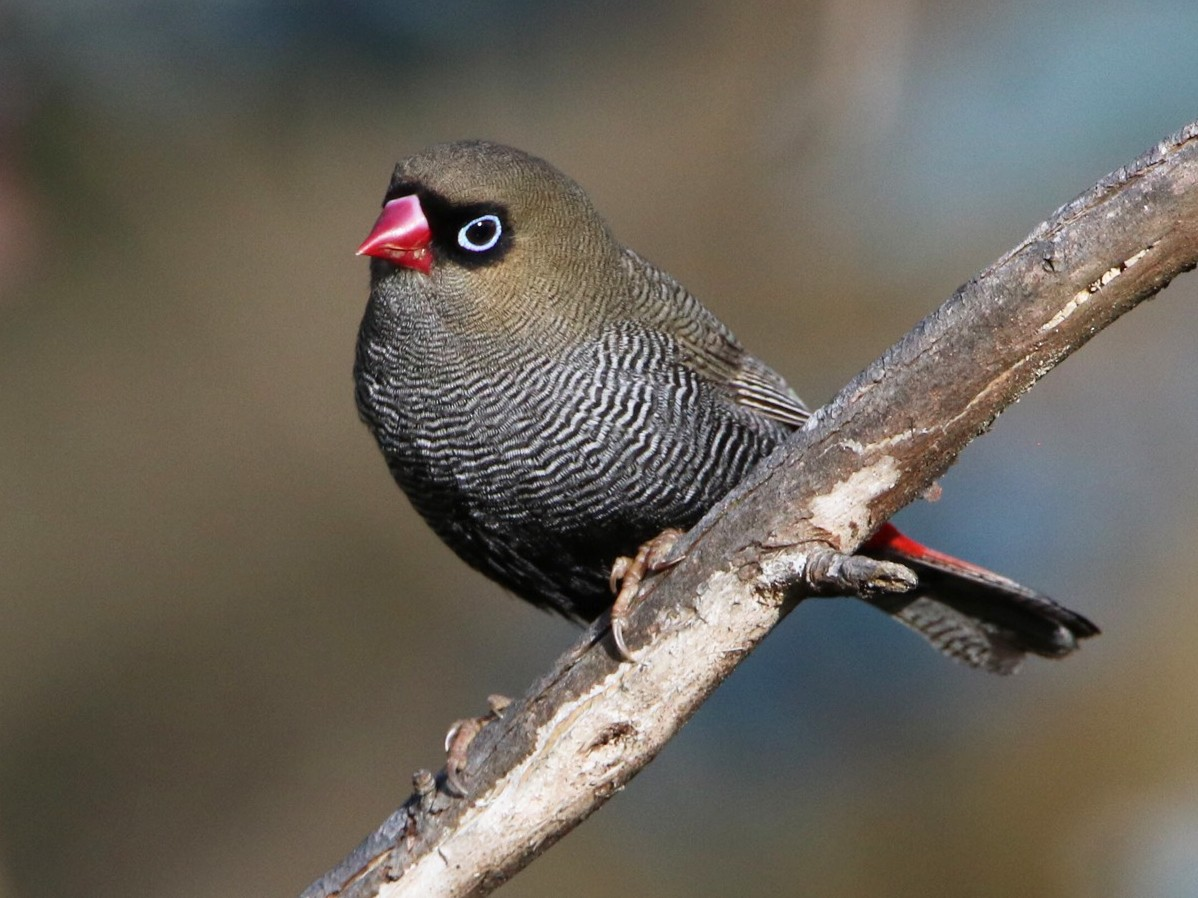 Beautiful Firetail - Indra Bone