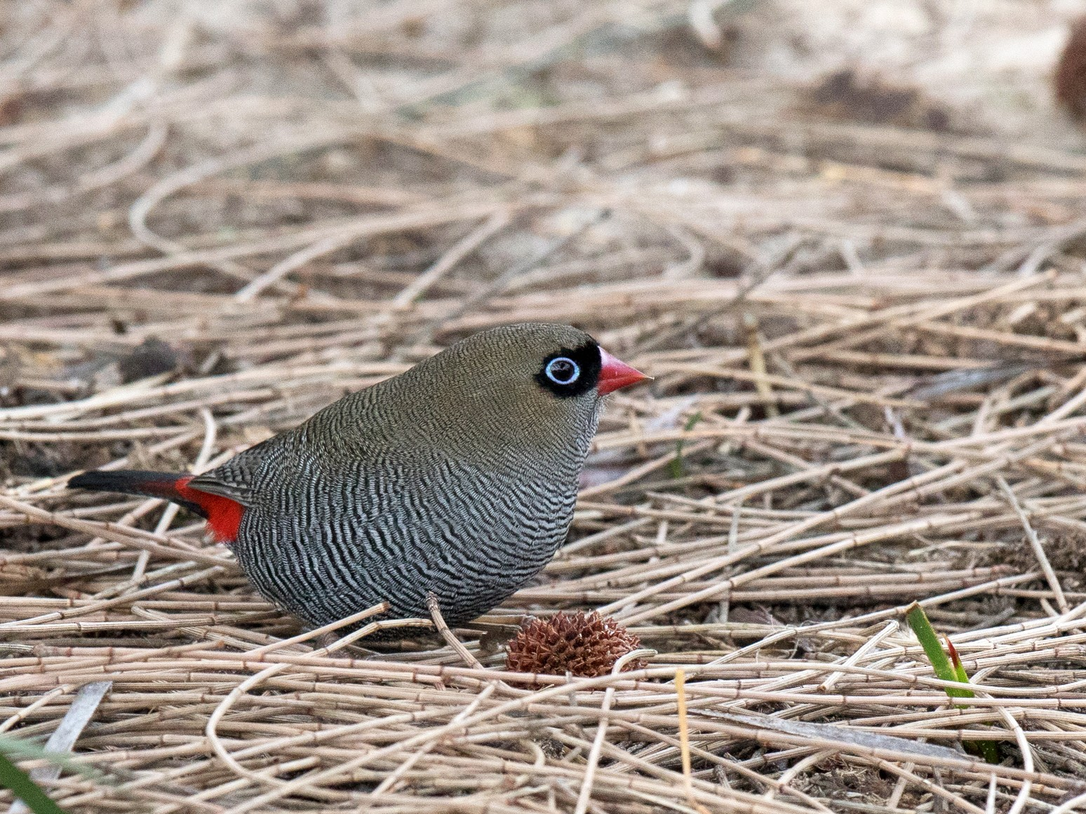 Beautiful Firetail - Sonja Ross