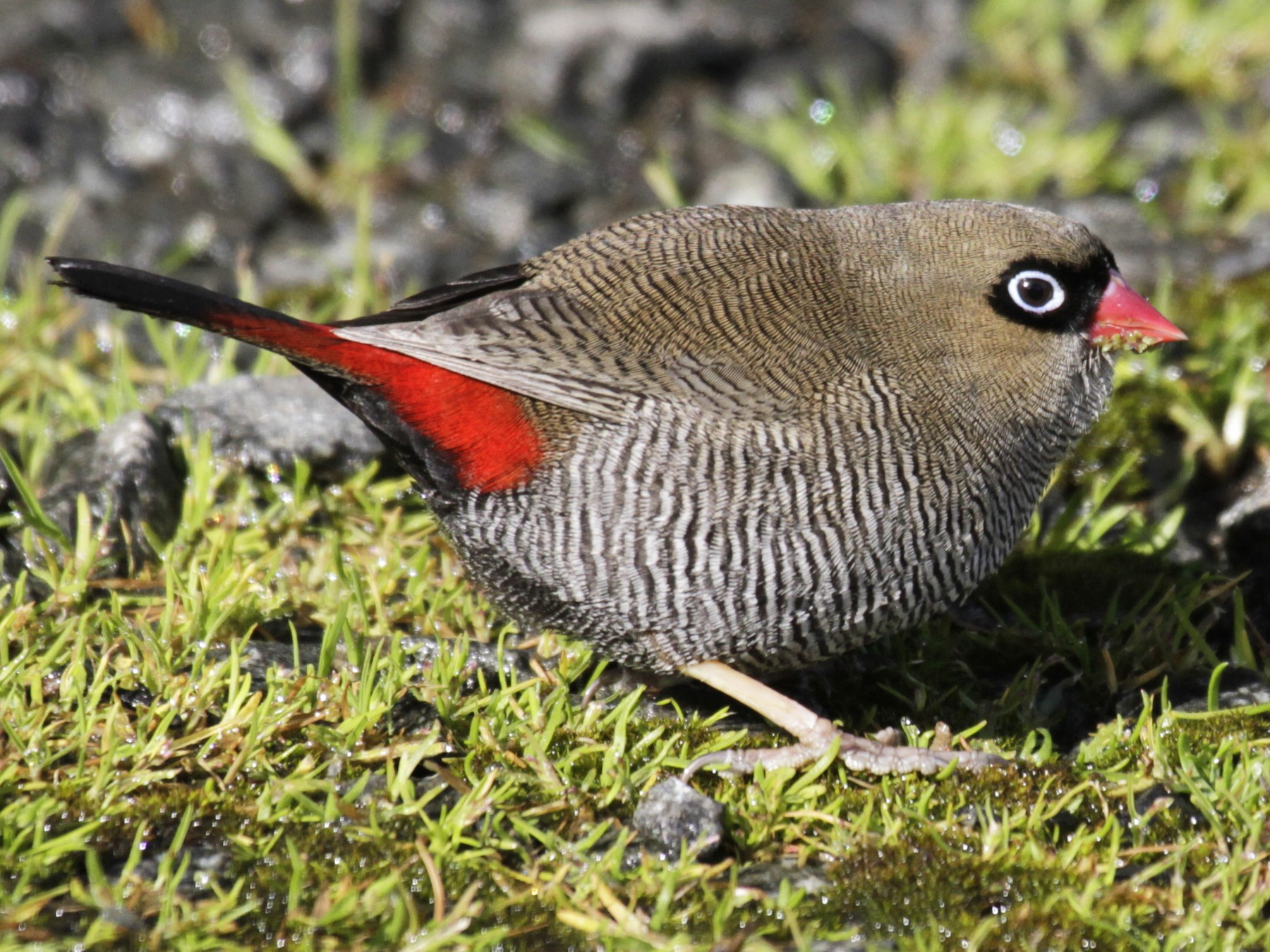 Beautiful Firetail - Paul Brooks