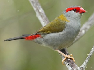 - Red-browed Firetail