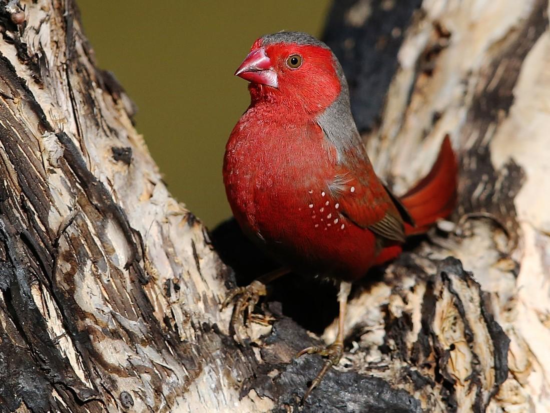 Crimson Finch - Tony Ashton
