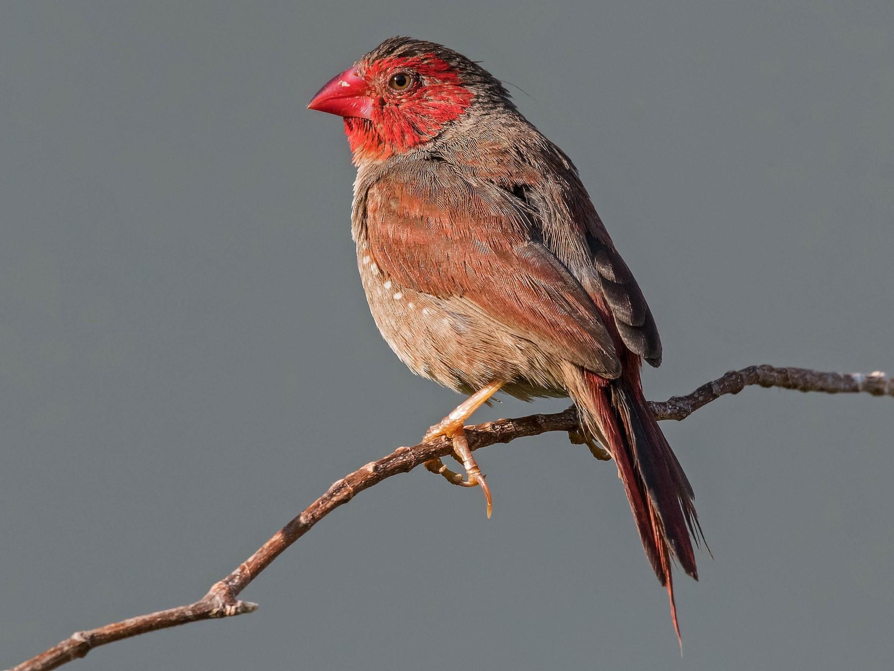 Crimson Finch - Terence Alexander