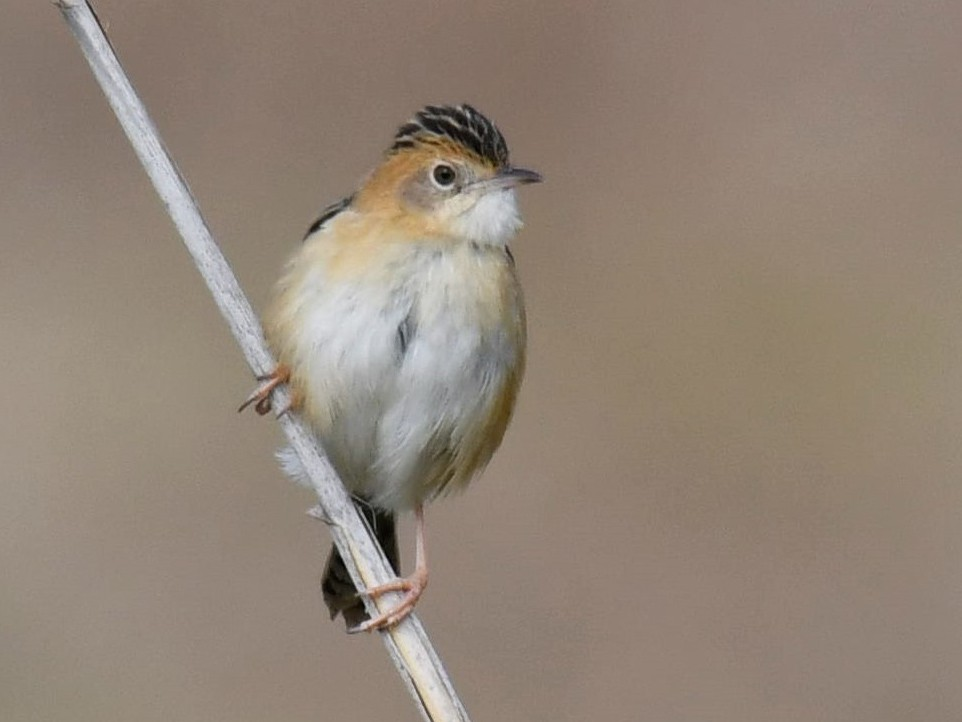 Golden-headed Cisticola - Chris Munson