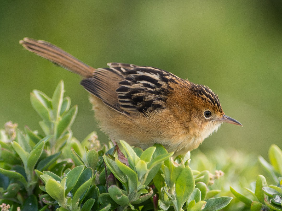 Golden-headed Cisticola - John  Van Doorn