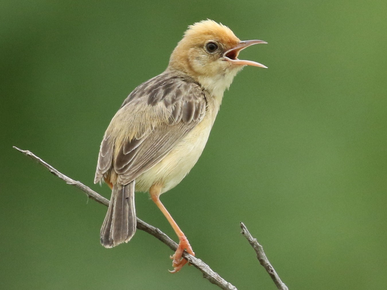 Golden-headed Cisticola - Luke Seitz