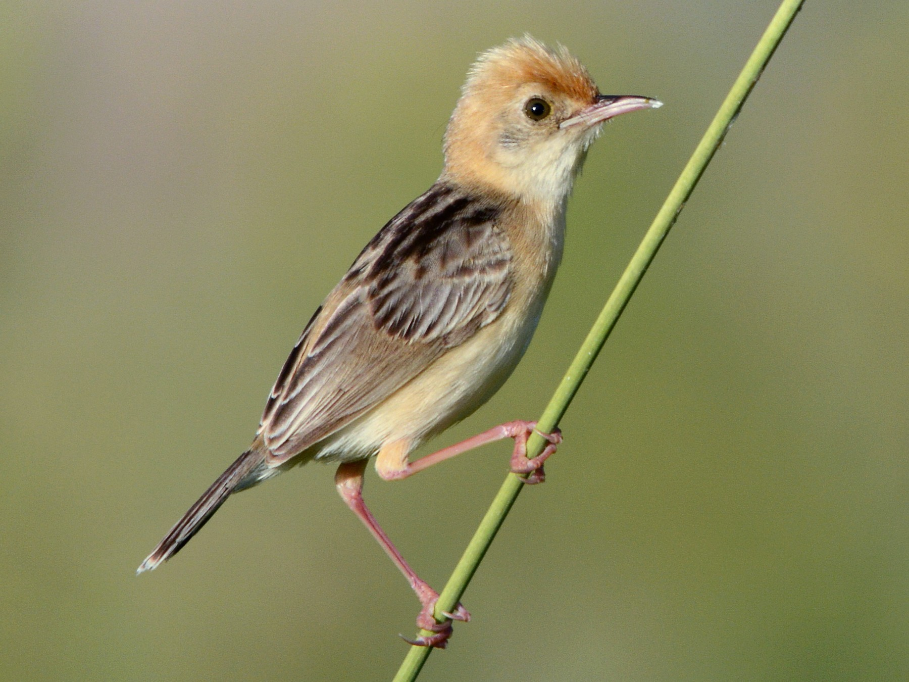 Golden-headed Cisticola - John Lowry