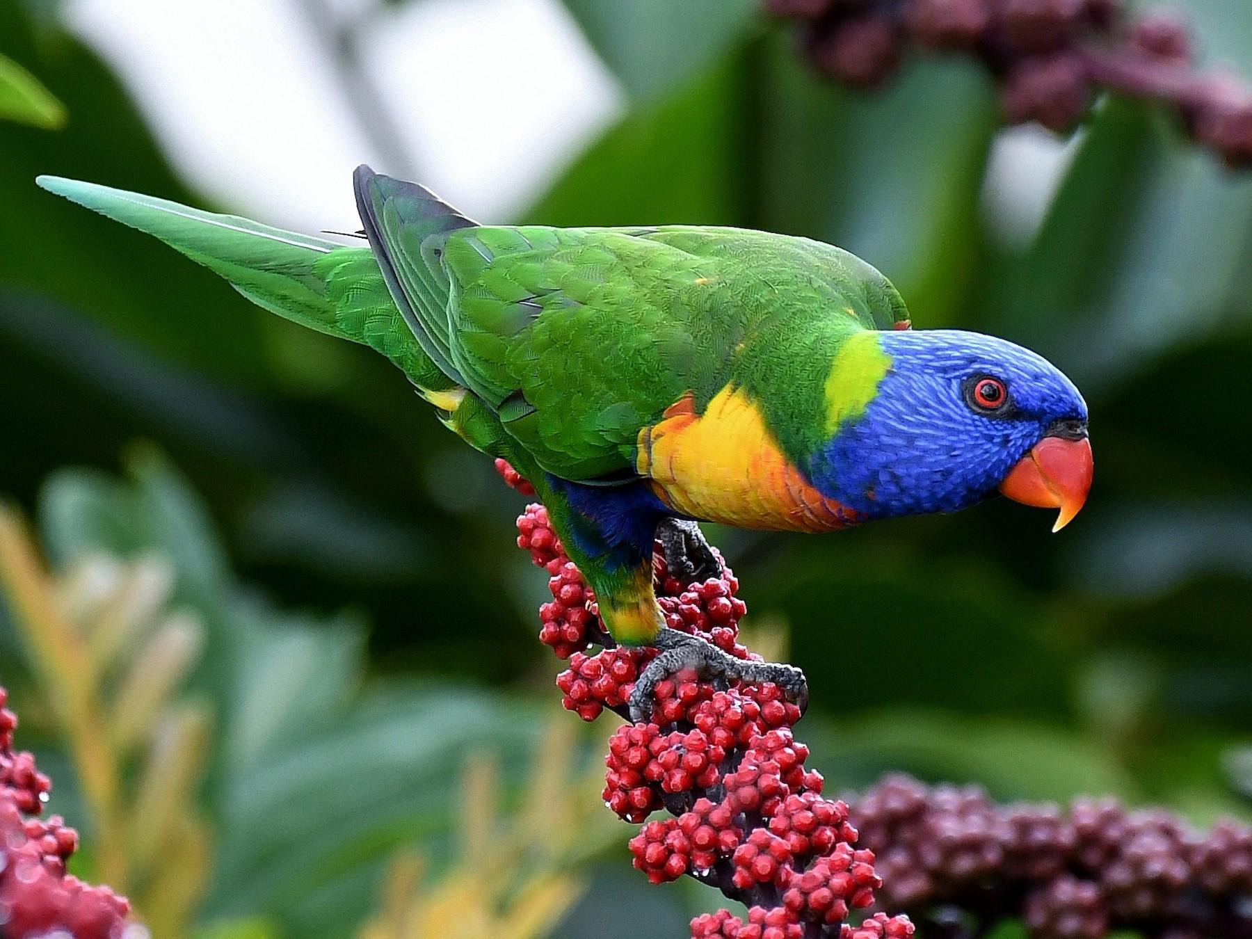 rainbow lorikeet sp. - Terence Alexander