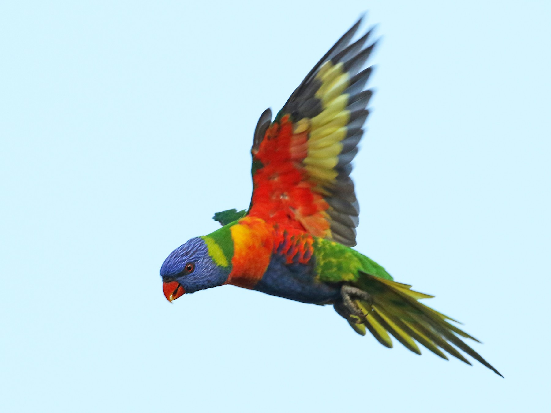 Rainbow Lorikeet - Luke Seitz