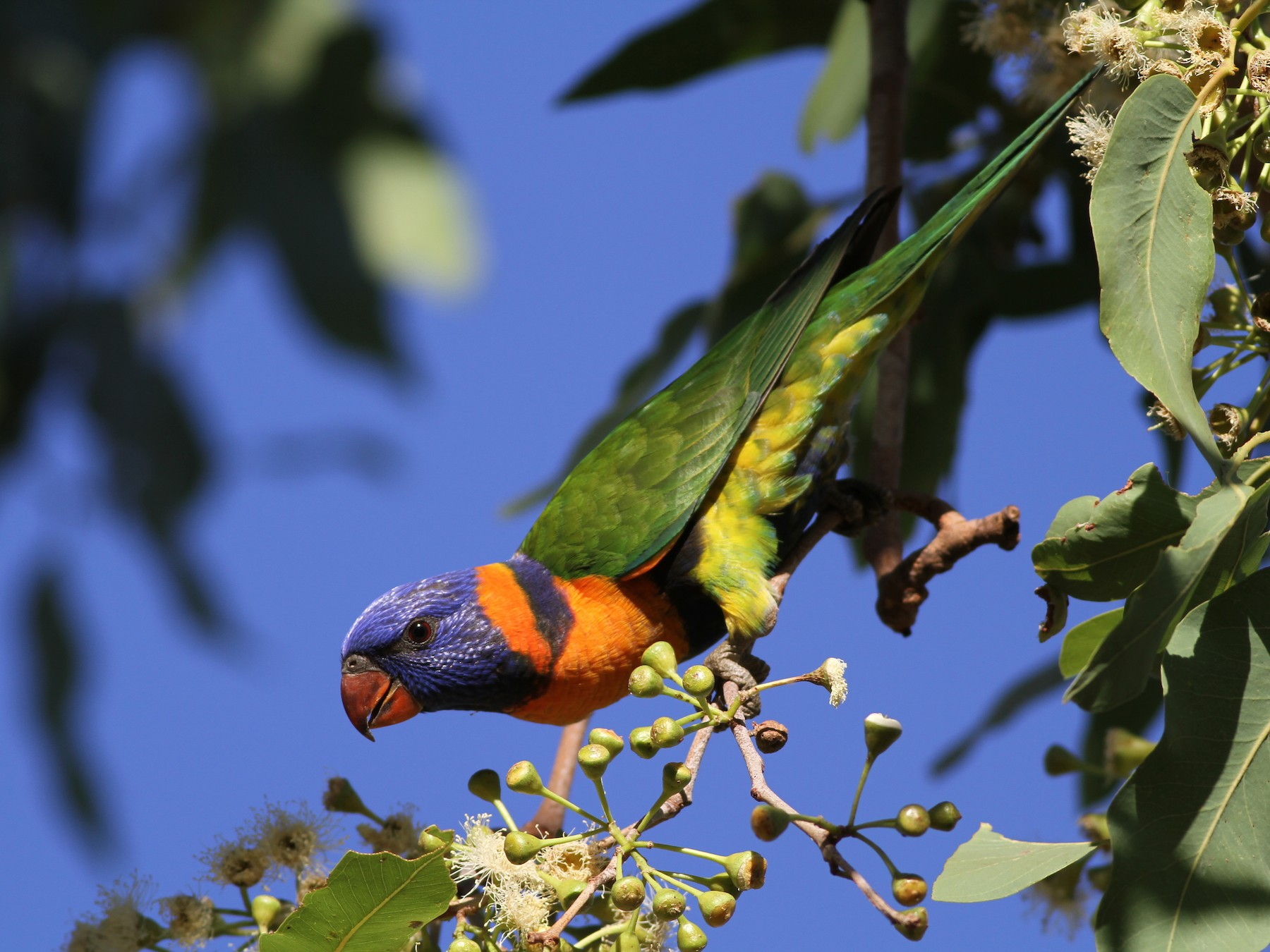 Red-collared Lorikeet - Chris Wiley
