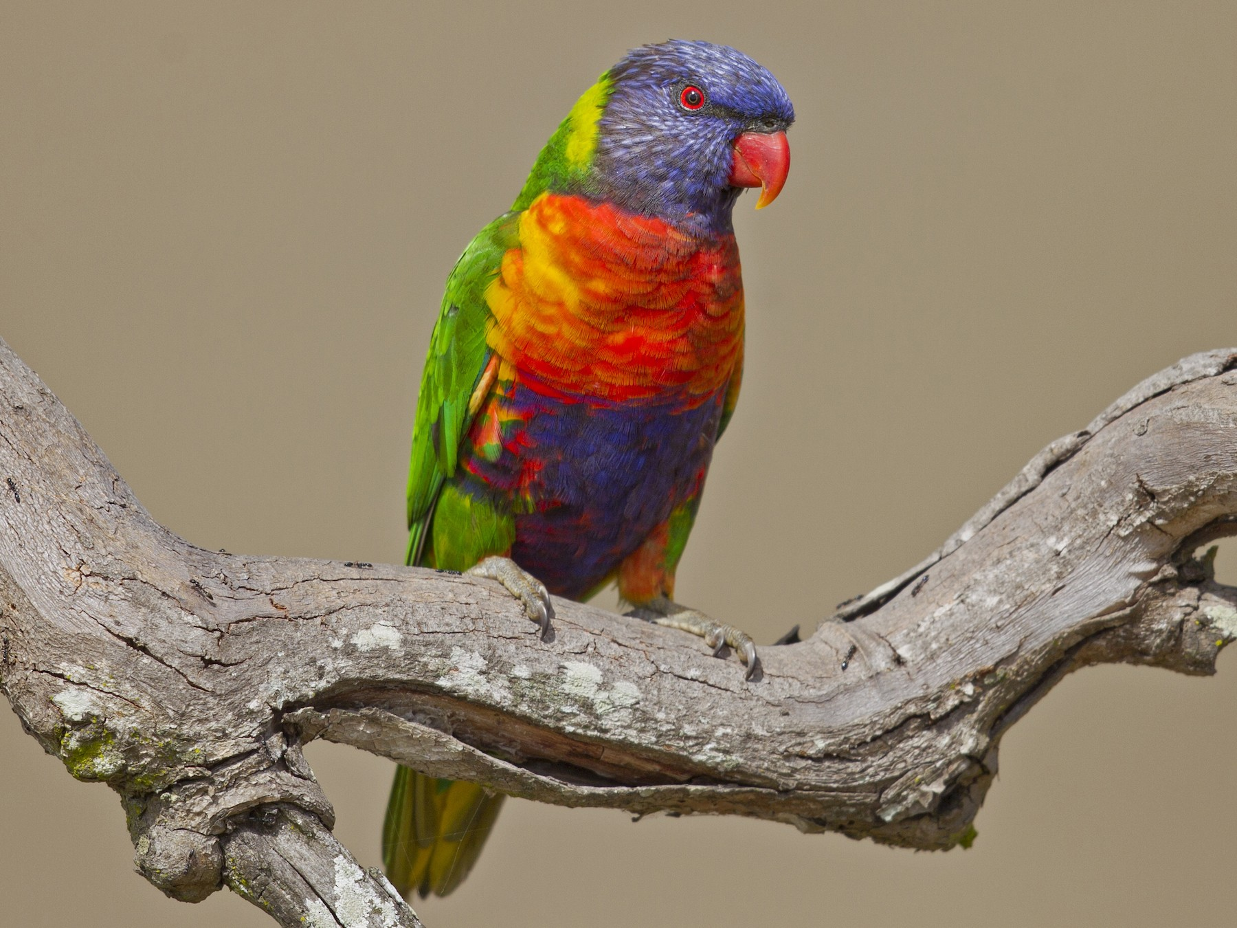 rainbow lorikeet sp. - Mat Gilfedder