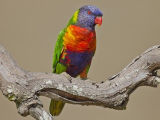 - Rainbow Lorikeet